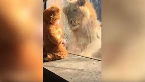 Imádja az oroszlán az oroszlánruhás kisgyereket – videó