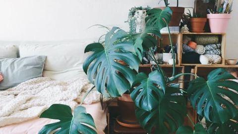 Felejtsd el a fikuszt! Bemutatjuk 2017 legmenőbb szobanövényét