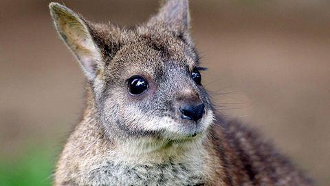 A golfozók szeme láttára falta fel a kengurut a kígyó