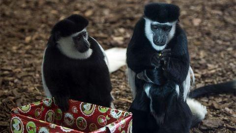 Így bontogatják karácsonyi ajándékaikat a veszprémi állatkert lakói