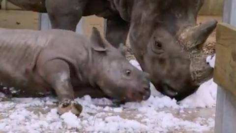 Elolvadsz a rinocéroszbébitől, aki először lát havat – videó
