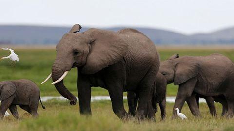 Kínában betiltották az elefántcsonttal kereskedést