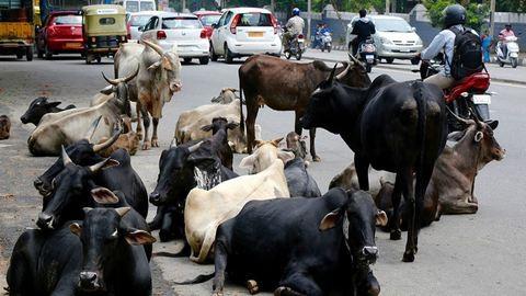Indiában rendszámot kapnak a tehenek