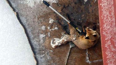 Stéghez fagyott rókát mentettek a Népszigeten