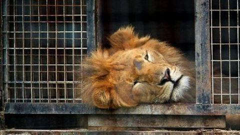 Kitilthatják a cirkuszból a vadállatokat