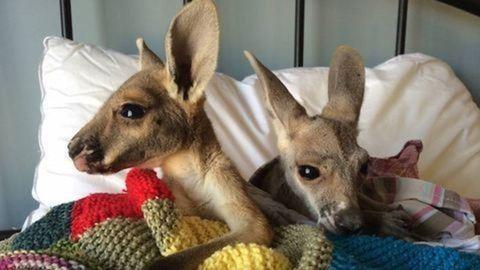 Addig verte a kenguru az ausztrál nőt, amíg csak mozgott