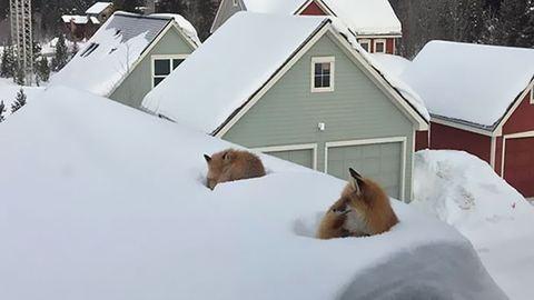 Eléggé meglepődött a férfi, aki két rókát talált a háztetőn – fotók