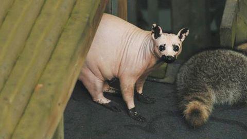 Ennyire furcsán néznek ki az állatok szőr nélkül