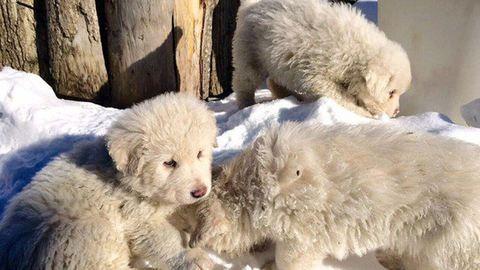 Olasz lavinabaleset: kiskutyákat találtak életben 5 nap után