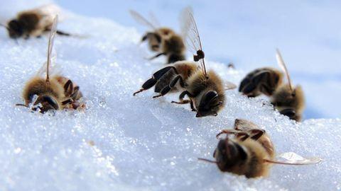 Sorra gyilkolja a méhcsaládokat a fagy