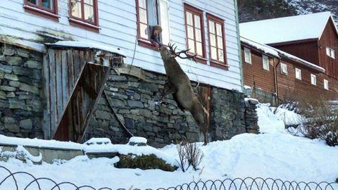 Rendszeresen ellátogat a norvég nyugdíjashoz a haspók szarvas