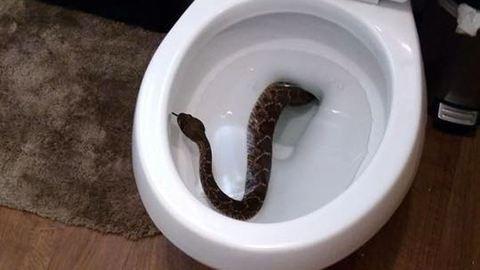 Csörgőkígyó csúszott ki egy család vécéjéből