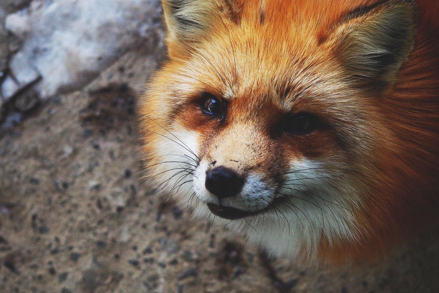 A japán rókafalu lesz a következő álomúticélod