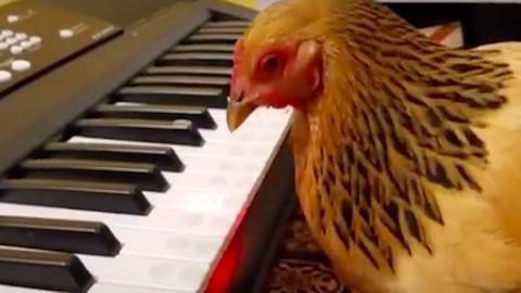 Ha meglátod ezt a zongorázó csirkét, rájössz, hogy nincs lehetetlen – videó