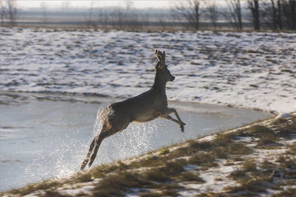 A Tisza jégtábláján utazik a megszeppent róka