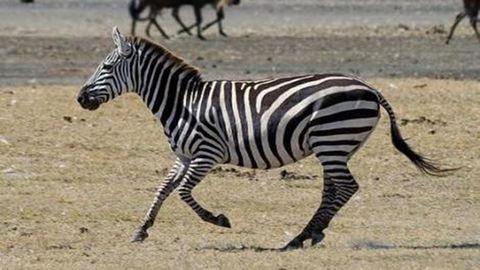 Imádja a zebrákat, hát zebrát csinált a kishúgából