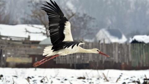 Kórházba került Berettyóújfalu kedvenc gólyája
