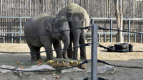 Kistestvére lesz Ashának, az állatkert kiselefántjának