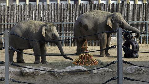 Így ünnepelte születésnapját Asha, a kis elefánt – videó