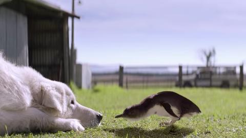 Elhunyt a kutya, aki egész életében pingvineket mentett