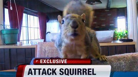 Hős mókus csapott le a betörőre