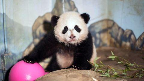 Különgépen tér haza Kínába Amerika kedvenc pandája