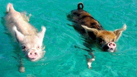 A turisták miatt pusztulnak az úszó disznók