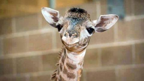 Megnéztük az Állatkert három szupercuki zsiráfbabáját!
