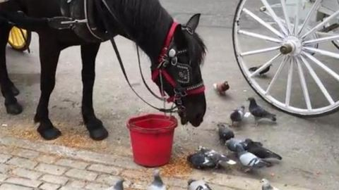 Saját csemegéjét osztotta meg a galambokkal a jószívű ló – videó