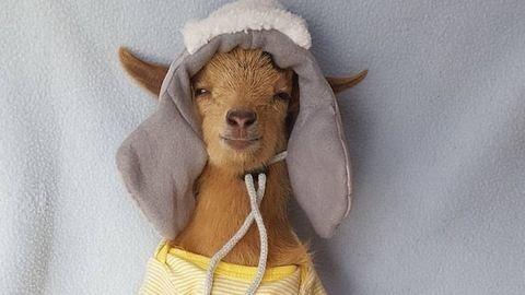 Cuki sapkákat kap a kis kecske, akinek leégették a szarvait