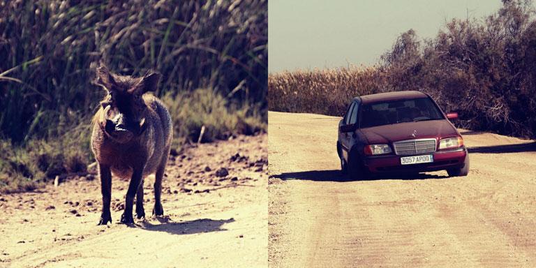 Mauritánia egzotikus vadvilága: varacskos disznó és elhagyott tengelytörött Mercedes is szembejött a földúton (Fotó: http://zsuzsiestekergo.blog.hu/)