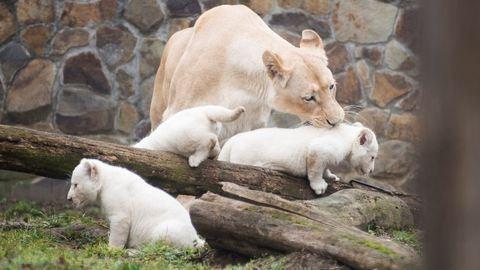 3 kistestvére született a nyíregyházi fehér oroszlánnak