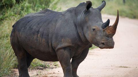 Megerősítették a budapesti orrszarvúk védelmét