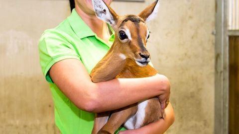 Impala született a veszprémi állatkertben
