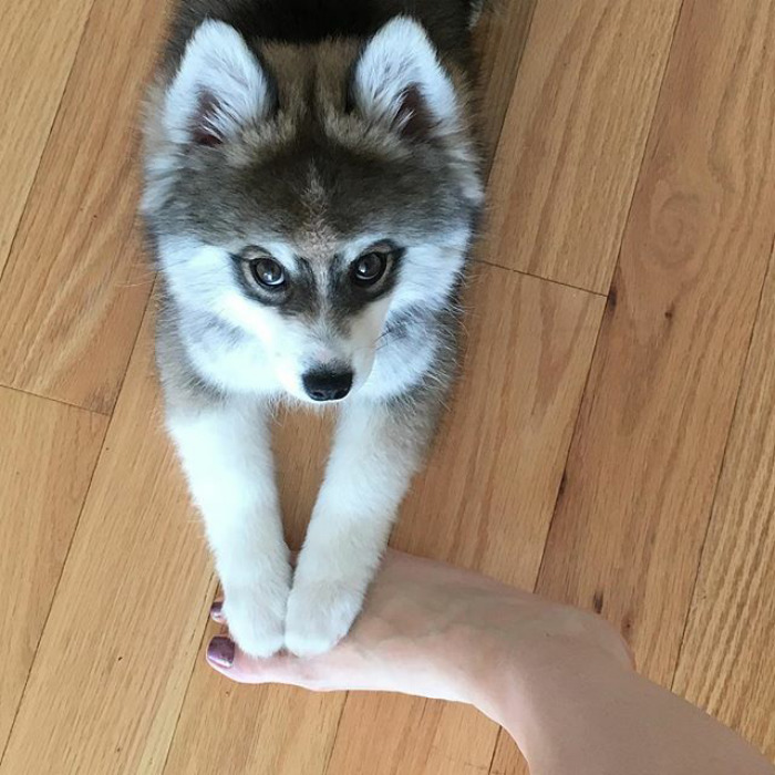 Ismerd meg a világ legcukibb husky kölyökkutyáját!