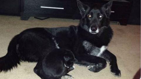 Elaltathatják a 10 éves kutyát, mert a gyanú szerint egy kicsit farkas