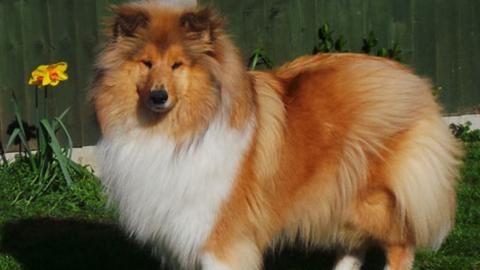 Magyar kutya lett a legszebb szuka a neves brit kutyakiállításon