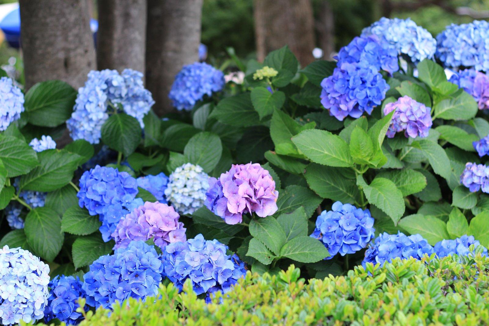 3 trükk, amitől szivárványszínűek lesznek a hortenziák