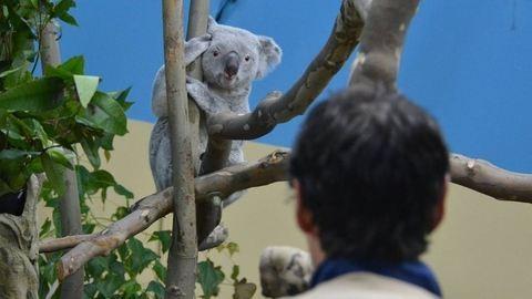 Bezárták a budapesti Koalaházat a látogatók elől