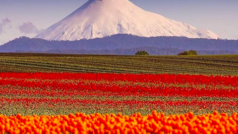 Káprázatos virágoskertek és mezők a világ körül, amiktől elakad a lélegzeted