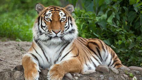 A szibériai tigrisek megmentéséért épül nemzeti park Kínában