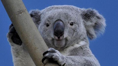 Virrasztanak a súlyos beteg budapesti koala mellett