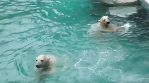 Önfeledten pancsolnak a budapesti állatkert új jegesmedvéi – videó