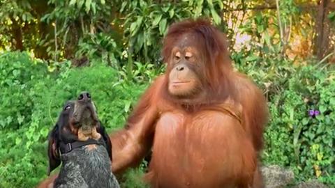 Ez az állati barátságokról szóló videó az aranylövés cukiságból