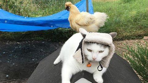 Megbabonázta a csirkéket a hentergő macska