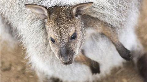 Babyboom növelte a létszámot a nyíregyházi kenguruknál – fotók