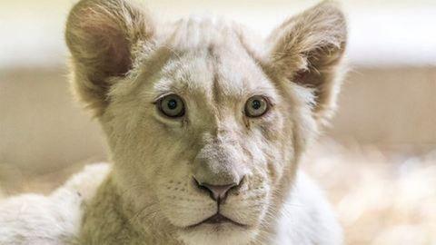 Ritka pillanatban láthatjátok a tüneményes fehér oroszlánokat