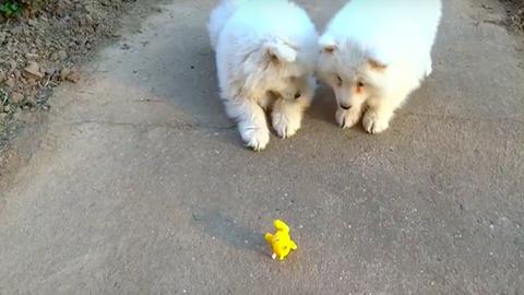 A felhúzhatós játékkal harcoló kiskutyákat csak imádni lehet – cuki videó