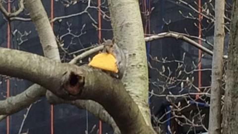 A fára is felküzdötte magával a tacót a mókus