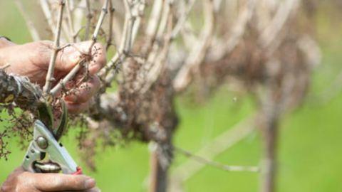 Így vágd vissza a gyümölcsfád ültetés előtt – 2. rész
